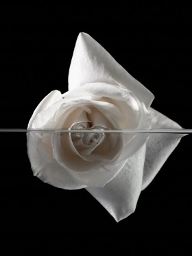White Rose on Black (2007) - Photographic Print