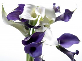 Cala Lily - Purple & White - Fine Art Photography